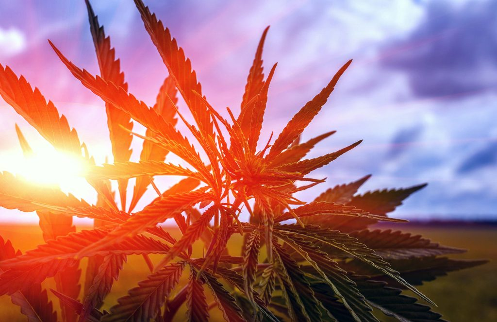 marijuana bush on a background of the cloudy sky at sunset