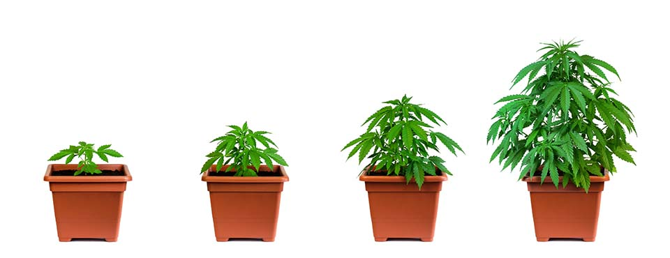 One marijuana plant in four growing phase